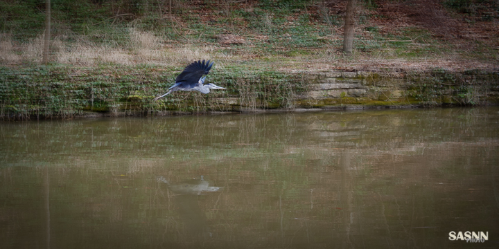 Flying Heron at the canal, near Avoncliff